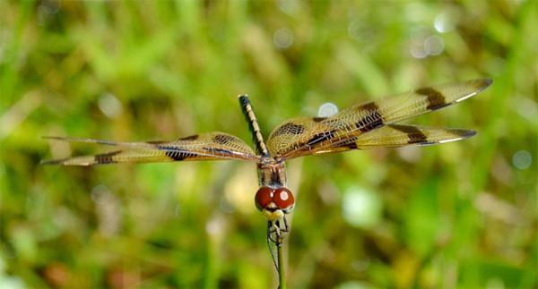 Frickin Dragonfly Seamstresses